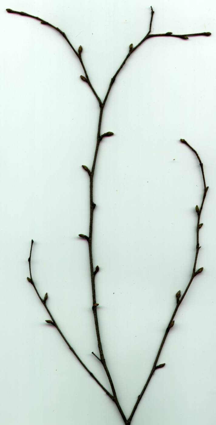 Poznávání stromů a keřů v době, kdy jsou bez listí
